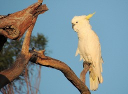 cockatoo-838865_1280