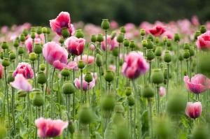 pink-poppy-864472_1280
